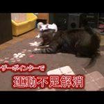 魅惑の猫グッズ?!レーザーポインターに魅了される猫たちの動画