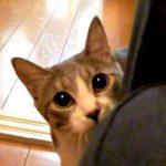 だるまさんが転んだをしてるの?可愛いく近づいてくる猫の動画
