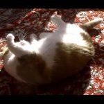 アカデミー賞レベル!撃たれて倒れる演技をする賢い猫ちゃん動画