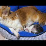 母親代わりのチワワに甘える子猫が可愛すぎる!