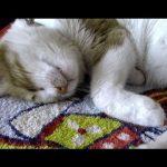 夢の中でも飼い主さんとお喋りがしたい猫ちゃん動画