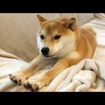パパの起床に大喜びする柴犬くん動画