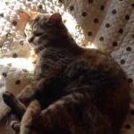 ベットの上でゴロゴロ~ゴロゴロ~する猫の癒し動画