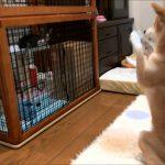 ケージの子猫に「出てきて~」とおねだりする健気な柴犬くん