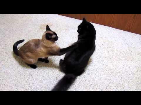 仲良し猫のまるで柔道ごっこのじゃれあい動画