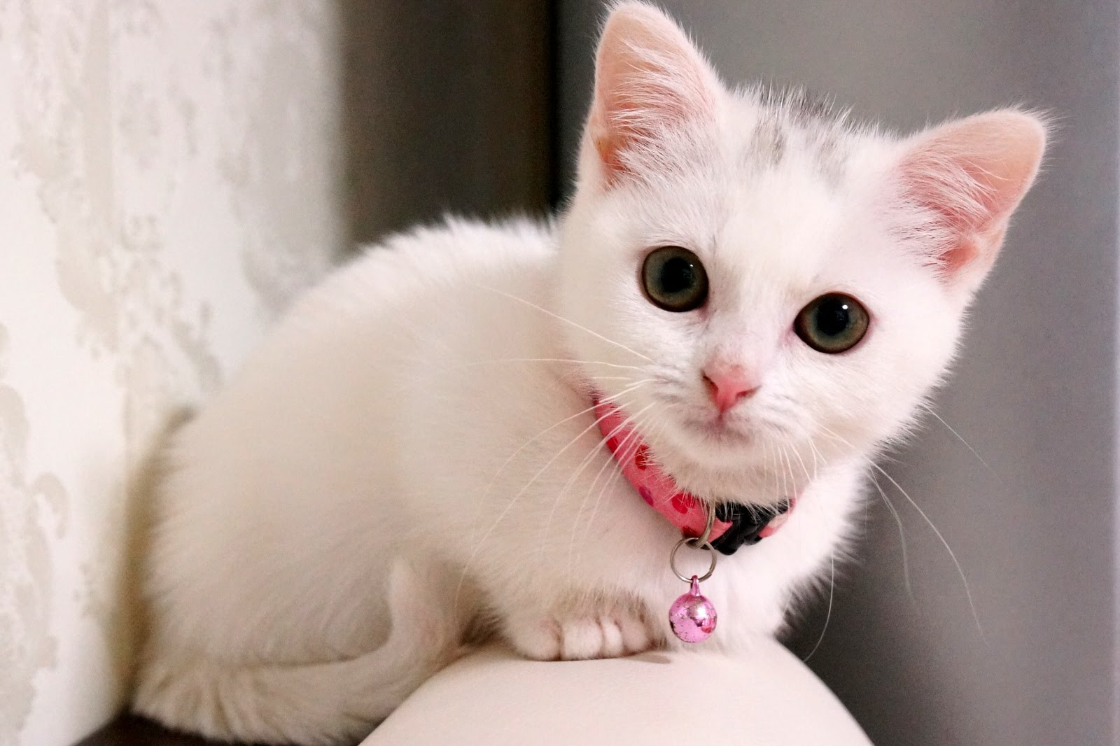 美人すぎる真っ白な子猫のごはんください攻撃