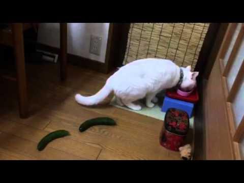 猫vsきゅうり!忍者のごとく大ジャンプに注目せよ!!