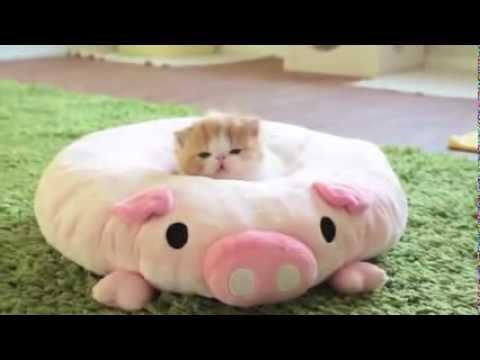 どっちがぬいぐるみ?!3匹の子猫withこぶたにキュン死です!
