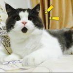 爆笑必死ww猫のドッキリ動画集!