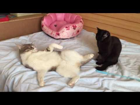 癒しの動画!猫兄弟のじゃれ合いが微笑ましい♪