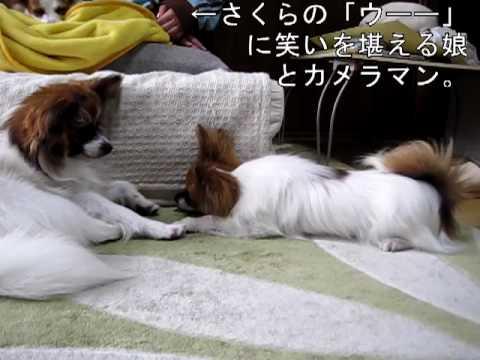 眠い犬vs遊びたい犬の攻防に注目の動画