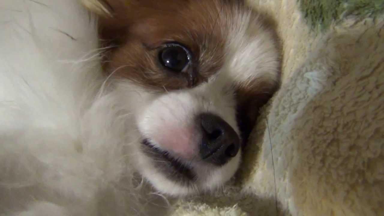 お腹丸出しで眠るパピヨン犬の動画ww