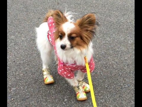 初めて履く靴に戸惑いを隠せないパピヨン犬ww