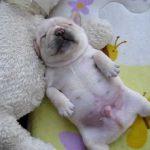 フレンチブルの赤ちゃん「チャイ」の寝姿に釘付け!!