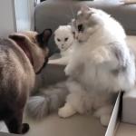 「くらえ!猫パンチฅ*•ω•*ฅ♡」子猫vs子猫の気にニャる試合結果は?