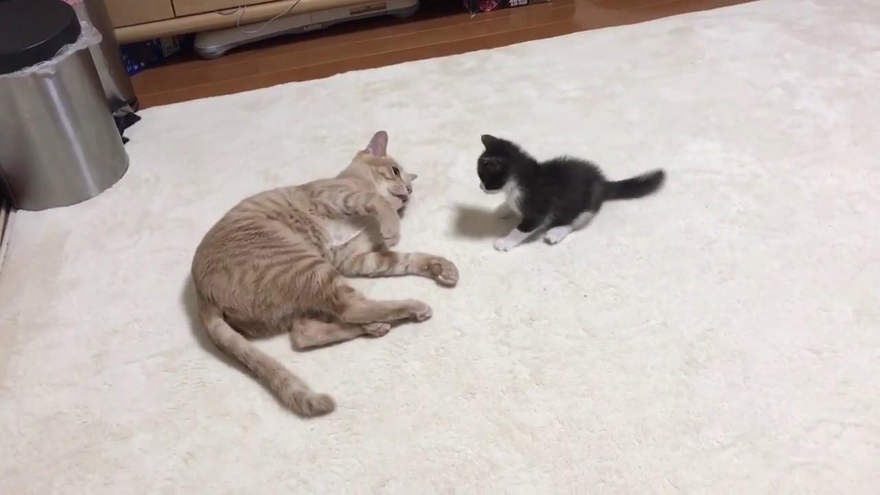 【子猫×先輩猫】どうしても一緒に遊んでほしい子猫ちゃん(*・ω・*)必死の努力は報われるのか・・・?