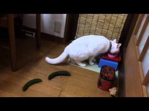 猫にきゅうりが想像以上のリアクションな件Σ(・口・)