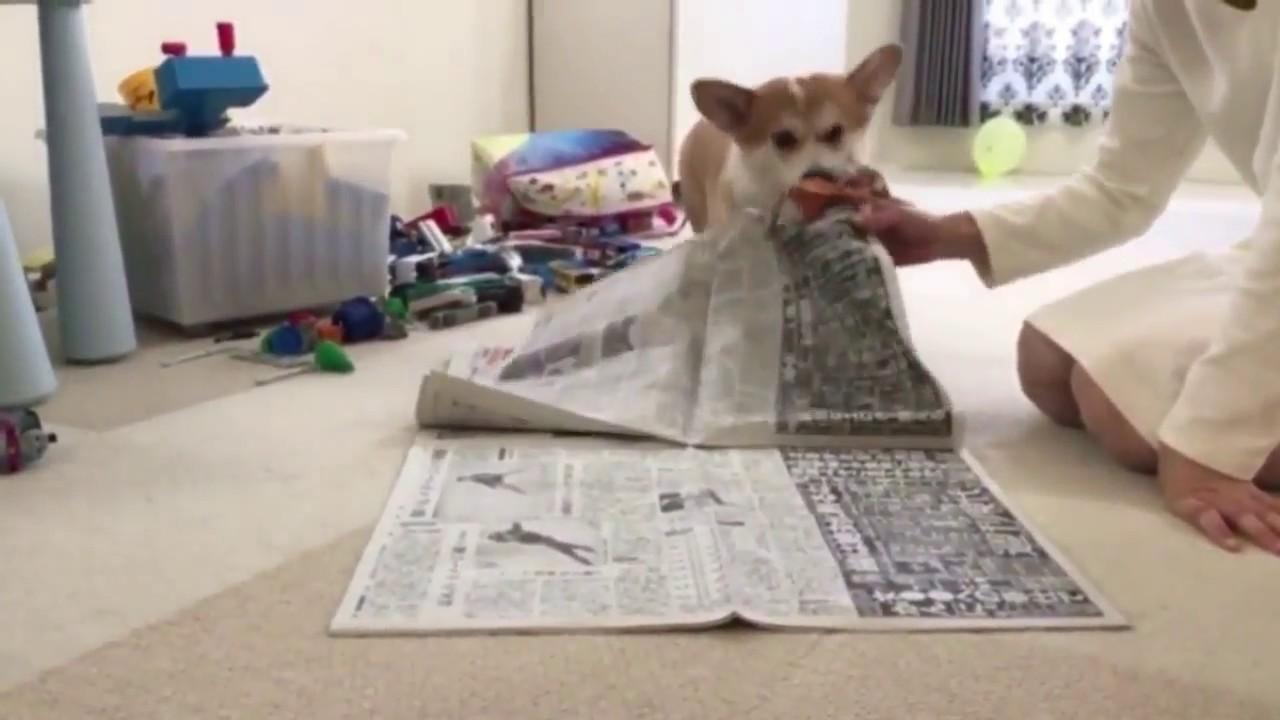 何度でも!絶対に新聞を読ませたくないコーギー