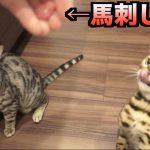 猫も美食家の時代?馬刺しを食べた猫の反応がすごい∑('◇'*)