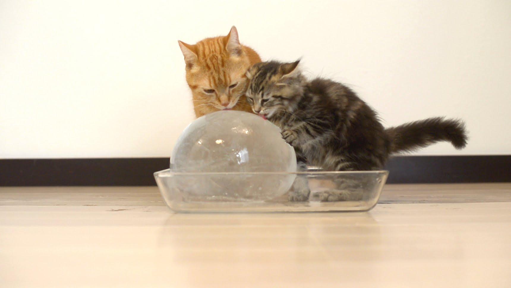 冷たくて気持ちいい♡丸い氷に大満足の猫ちゃん達ヾ(*'ー')o