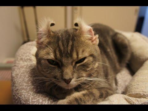 寝グセ?いやいや耳グセがスゴイ猫ちゃん♡
