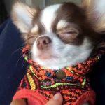 チワワが寝たふりをする理由が可愛すぎる♡