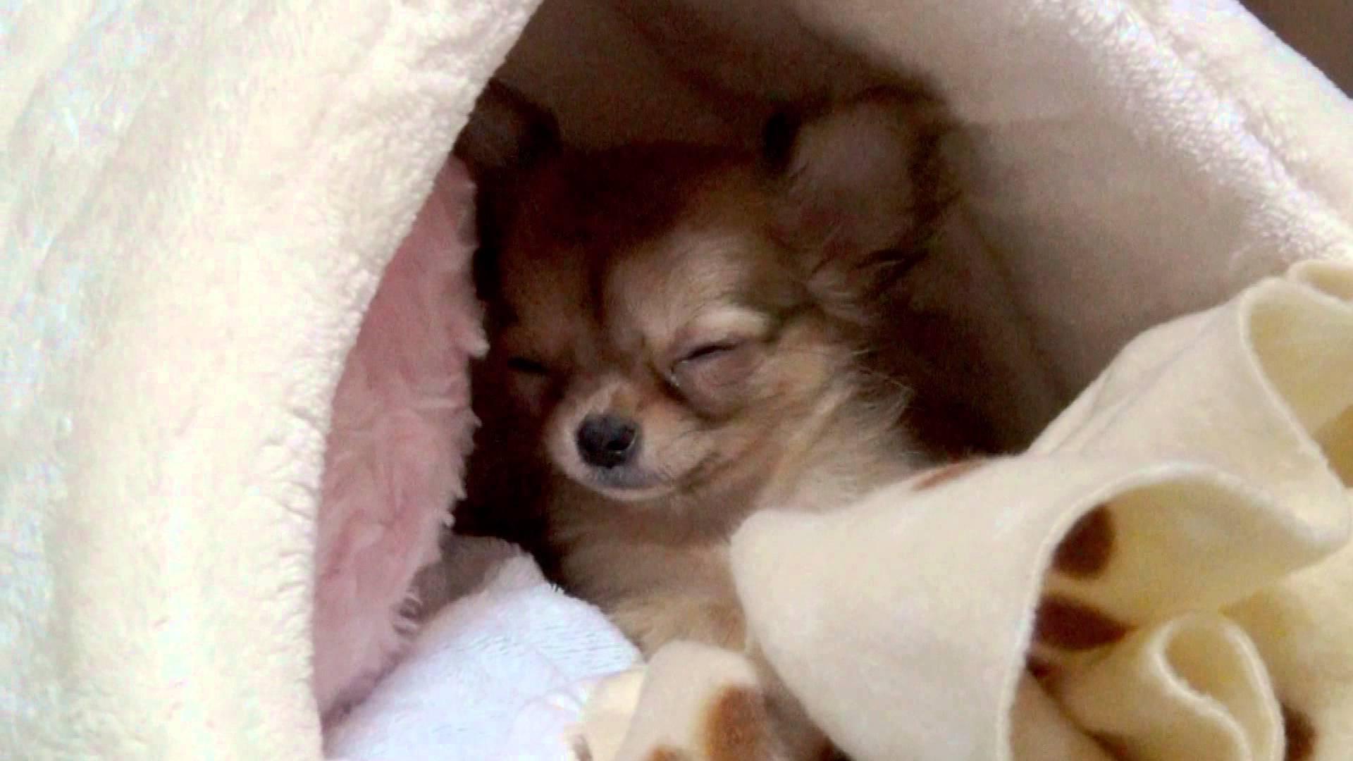 眠たいチワワの赤ちゃんにキュン死♡