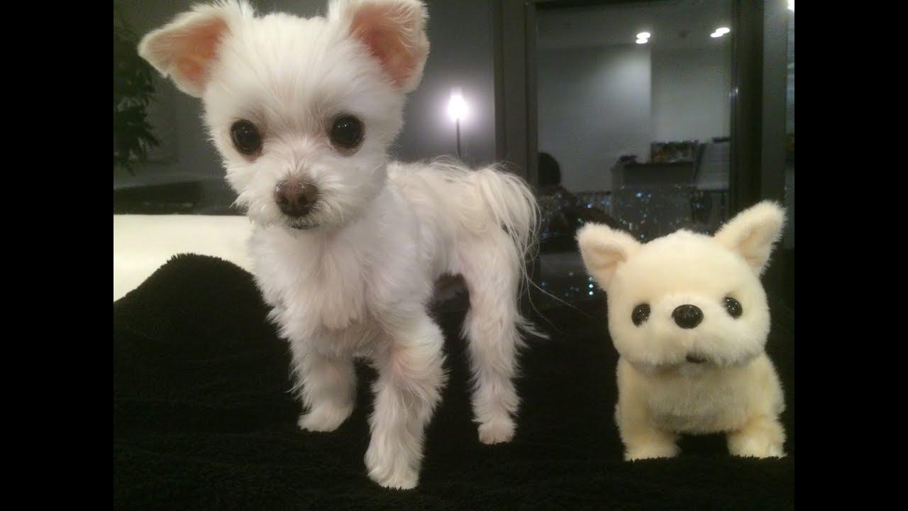 おもちゃの子犬にビックリ!なマルチーズちゃん♡