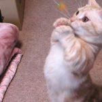 マンチカンの立ち上がって猫パンチが可愛すぎて悩殺♡
