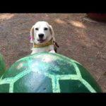 ビーグルの挑戦!亀に乗る犬(´▽`)