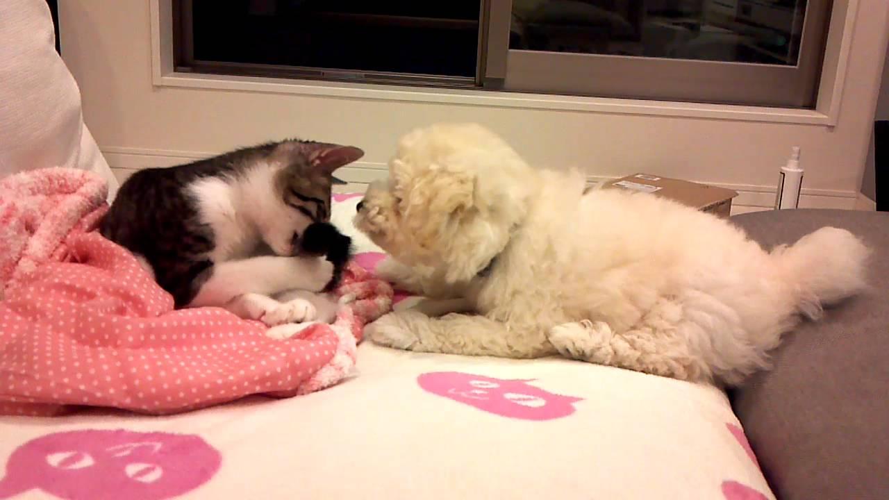 犬じゃらし?♡プードルにしっぽで遊ばれる猫ちゃん!