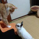うさぎの小屋にはもう入らないと心に誓った猫ちゃん('O'*)