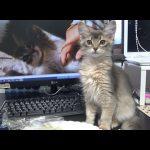 私も食べたい!と興味津々なソマリの子ネコが可愛い♡