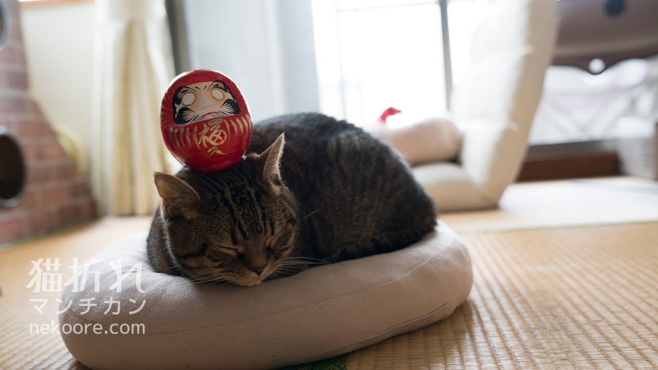 頭の上にダルマさん!?まるで静止画な猫ちゃんがすごすぎる♡