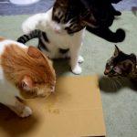 猫ちゃん達にマタタビをあげたら乱闘に・・・!?
