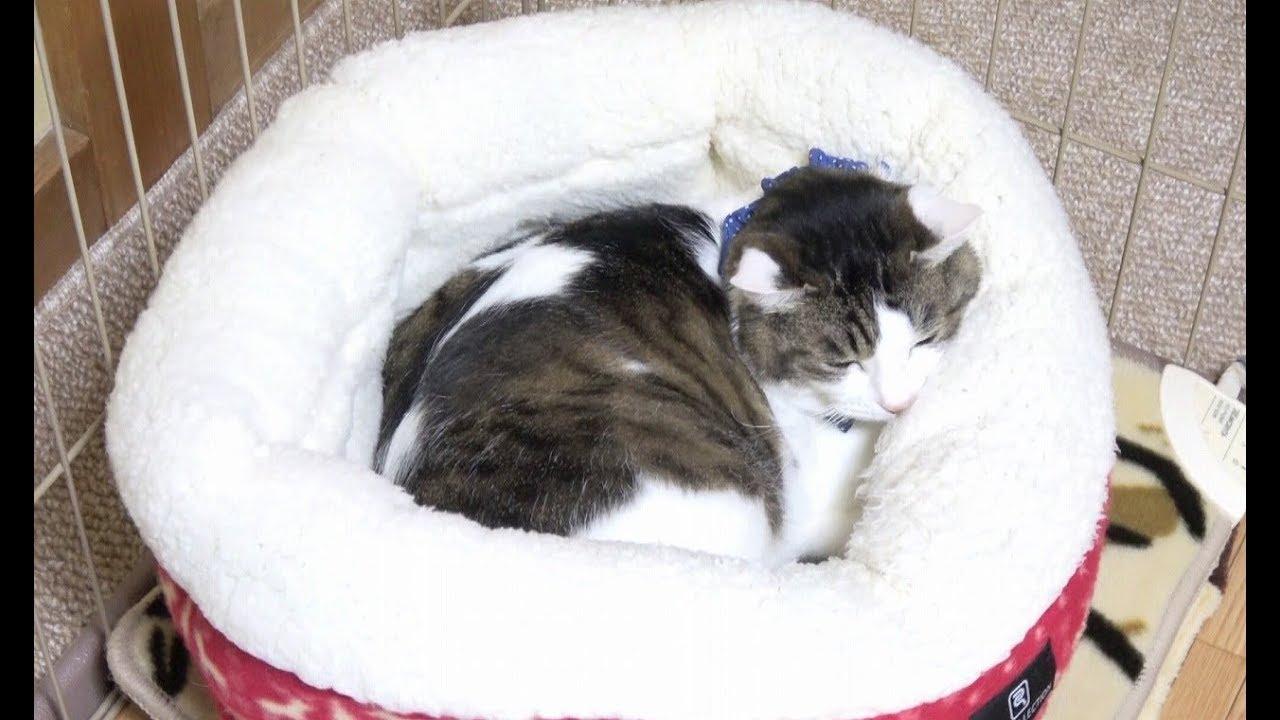 「そこ私のなのにな・・・」猫ちゃんにベットを取られちゃったチワワちゃん!