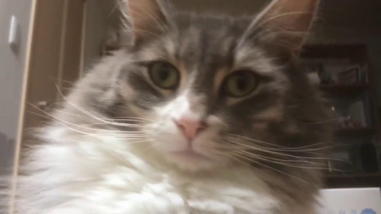 どうしても飼い主さんの上に手をのせたい猫ちゃんがカワイすぎる♡