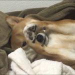 寝癖?いやいや耳グセがすごい柴犬ちゃん♡