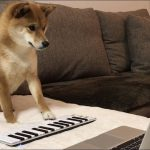 肉球の奏でるメロディー♡柴犬ちゃんがピアノ演奏!