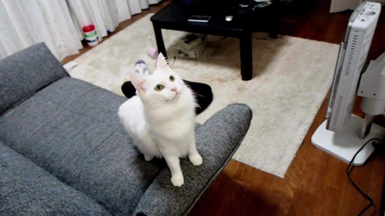 遊んでニャ?とついて回る白猫さんのおねだり鳴きが可愛い♡