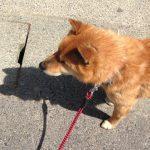 お散歩だと思ってたのに・・・!病院だとわかった瞬間の柴犬のリアクションがすごい
