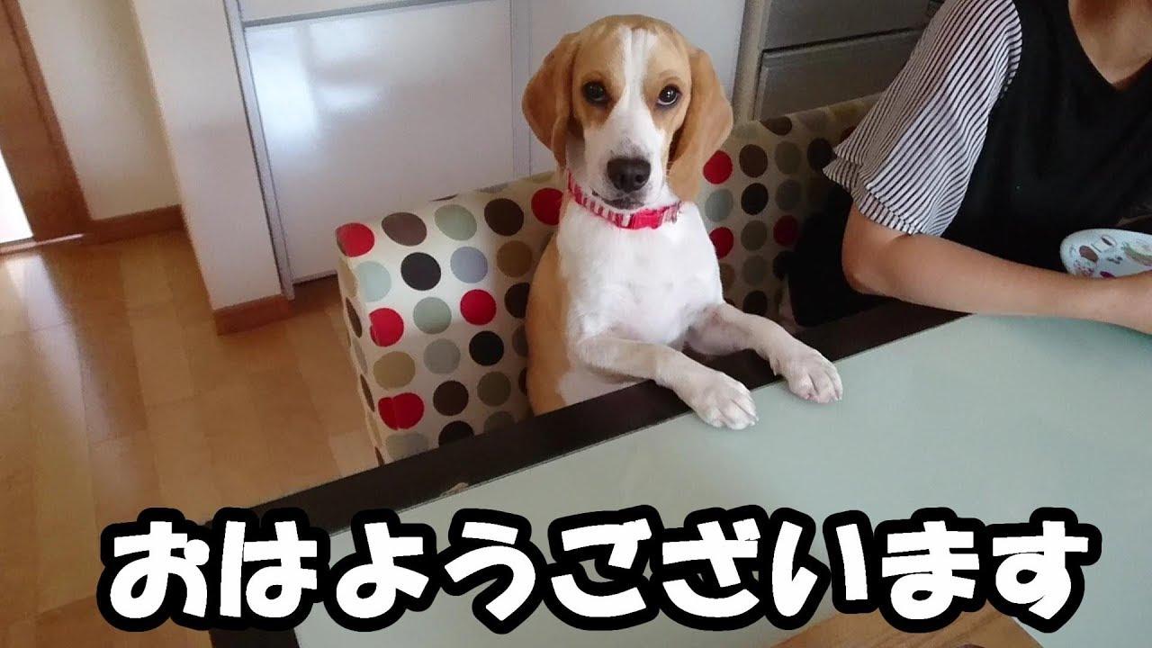 ご飯が欲しくて・・・!人間のように椅子に座って待つビーグルさんが可愛すぎる♡