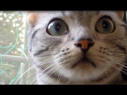 野良猫ちゃんと初対面のアメショーちゃんがビックリ!(*_*)
