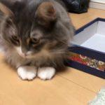 小さすぎて入れない箱に入ろうとする猫ちゃん♡