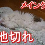 メインクーンのゆるーい寝姿にメロメロ〜♡