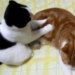 猫ちゃんが猫ちゃんにマッサージ?キュンキュンしちゃう♡