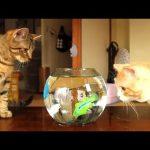 オモチャのお魚さんに興味津々のネコちゃんズ♡