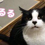 御飯の時間にルンルンな猫ちゃん♡