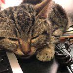 パソコンの横でウトウトする子猫ちゃんが愛おしすぎる♡