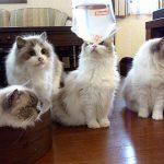 初めての金魚に興味津々な猫ちゃんたち♡